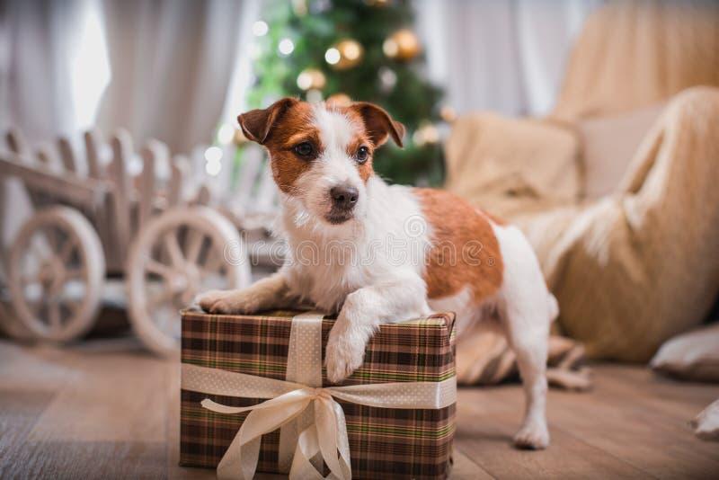 Noël de chien, nouvelle année, Jack Russell Terrier photographie stock libre de droits