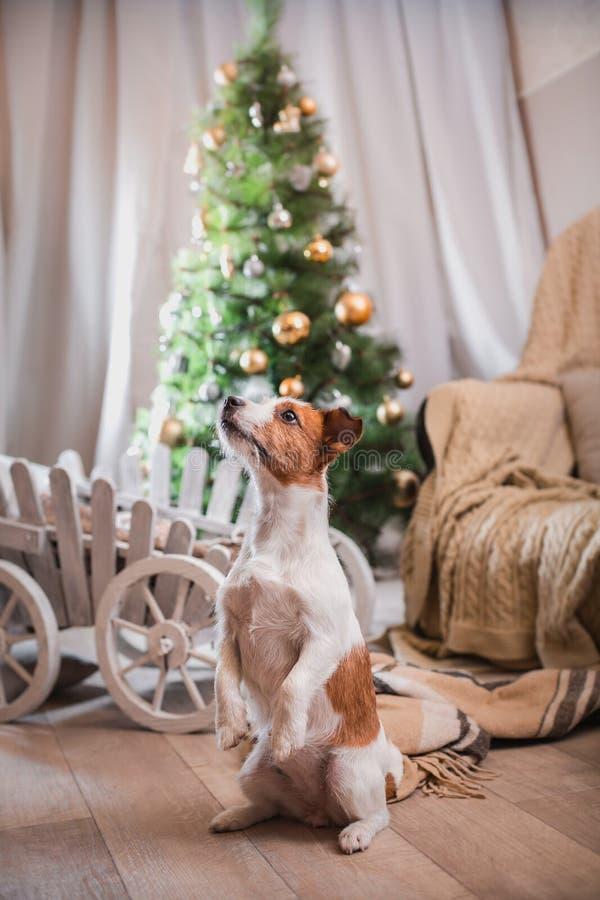 Noël de chien, nouvelle année, Jack Russell Terrier images stock