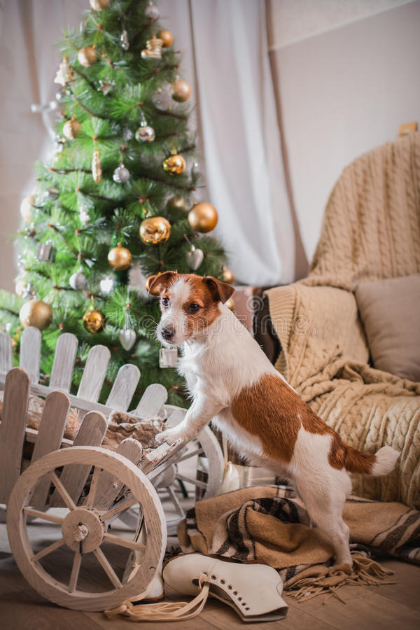 Noël de chien, nouvelle année, Jack Russell Terrier photos libres de droits