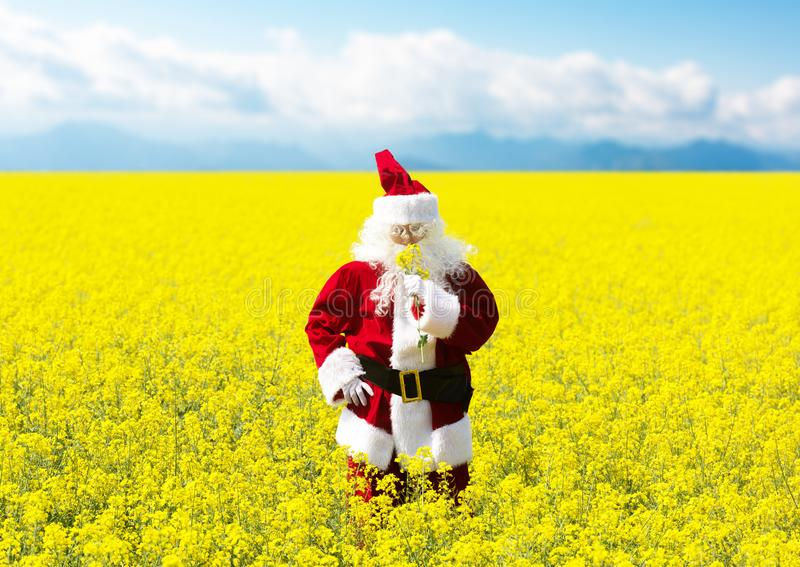 Noël Santa Claus reniflant les fleurs dans le domaine jaune de floraison image stock