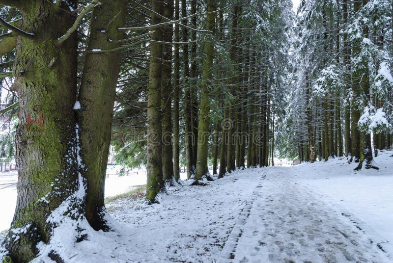 Nożna ścieżka przez jedlinowych drzew zdjęcia stock