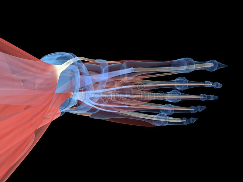 Nożna anatomia ilustracji