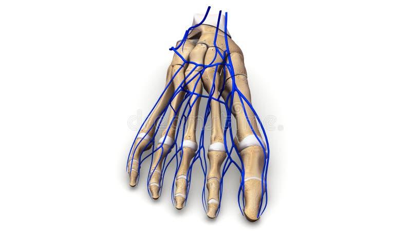 Nożne kości z żyła anterior widokiem obraz royalty free