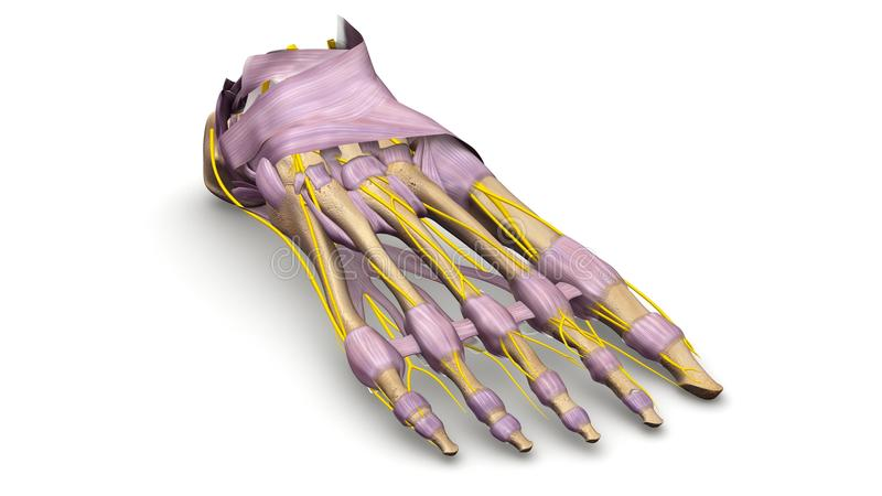 Nożne kości z wiązadłami i nerwu perspektywicznym widokiem royalty ilustracja