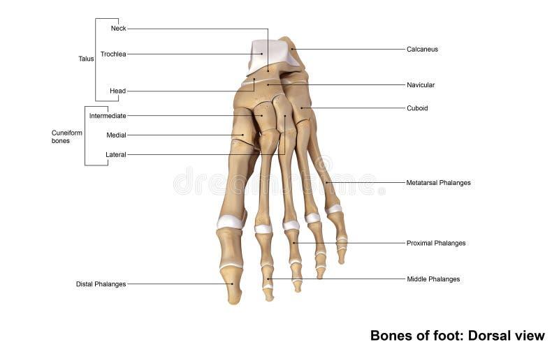 Nożny Dorsalny widok ilustracji