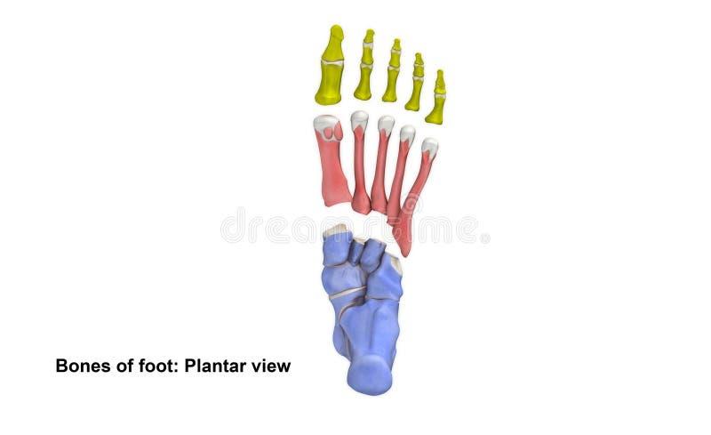 Nożny Plantatorski widok ilustracji