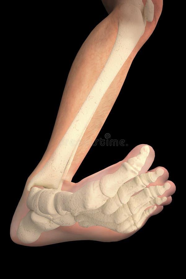 Nożnych kości prześwietlenia noga zdjęcia royalty free