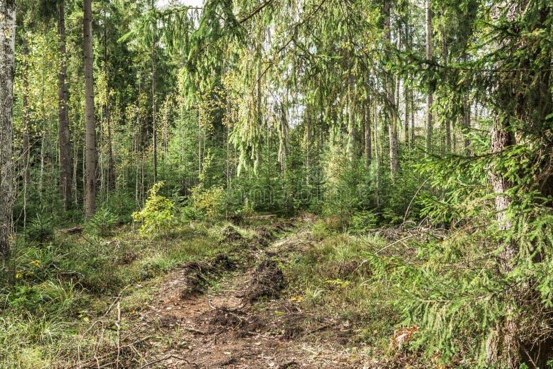 No ano passado vala do fogo do ` s que divide a grama e as árvores, estrada abandonada em uma floresta conífera, fundo abstrato d imagens de stock