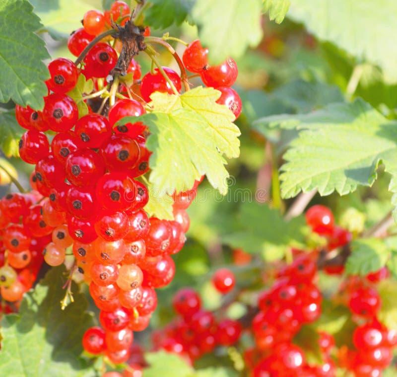 No arbusto do ramo as bagas são redcurrant maduro fotografia de stock royalty free