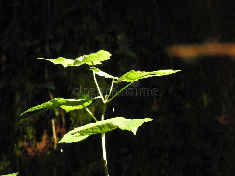 No centro da floresta a luz passa sobre uma avelã do rebento imagens de stock