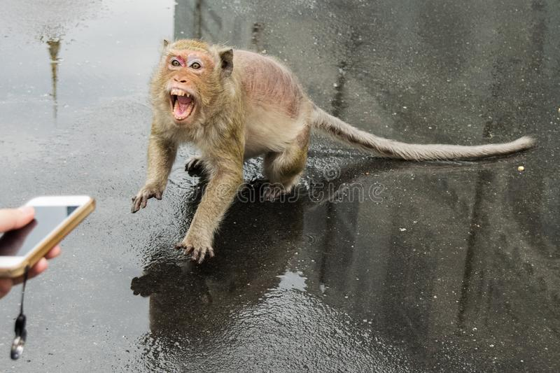 No consiga demasiado cercano a los monos de macaque imagen de archivo libre de regalías