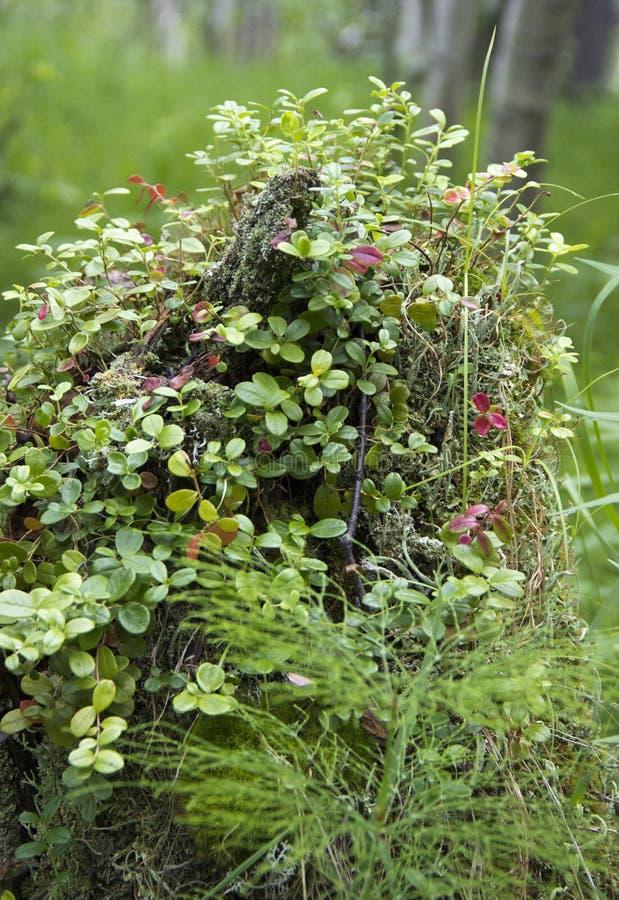 No coto de uma ?rvore cresce arandos fotografia de stock royalty free