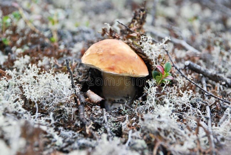Download Os cogumelos na tundra. imagem de stock. Imagem de macro - 29849659