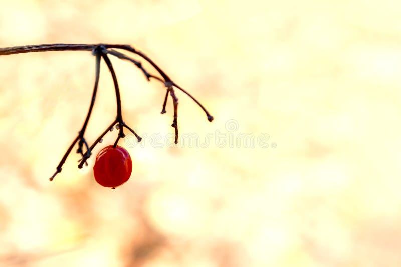 No final do outono, o primeiro galho com frutos congelados imagens de stock