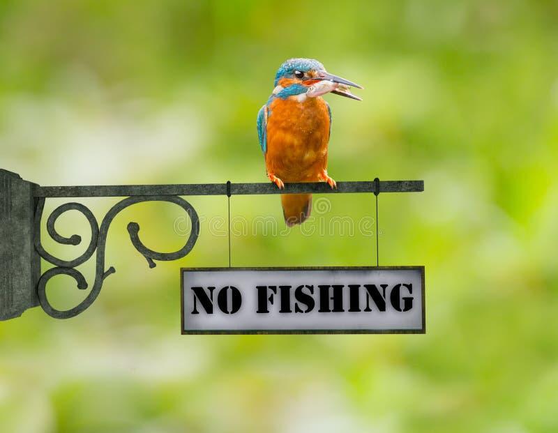 No fishing Kingfisher royalty free stock photos