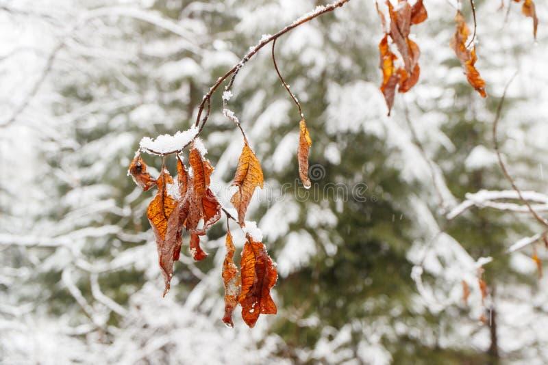 No fundo das folhas coníferas nevado de um amarelo da floresta das árvores de folhas mortas, um ramo das folhas fotografia de stock
