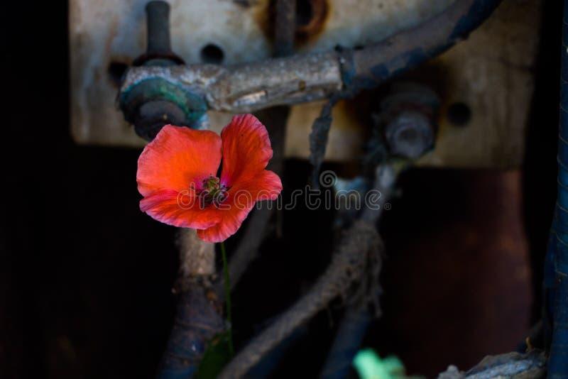 No fundo do ` s do transformador os fios bondes aumentaram uma flor vermelha bonita - papoila imagem de stock royalty free