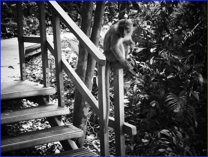 no karmi małpy zdjęcia stock