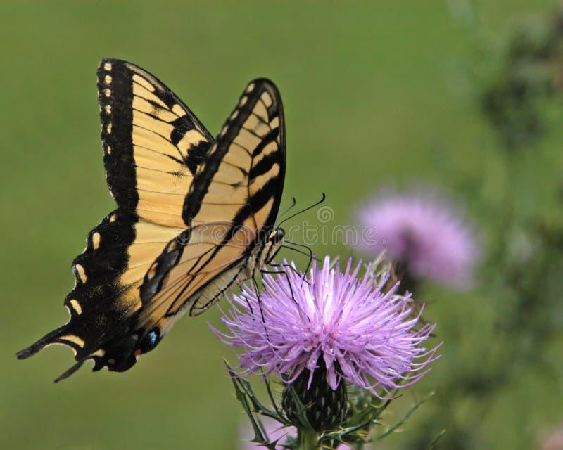 no motyla zdjęcie stock