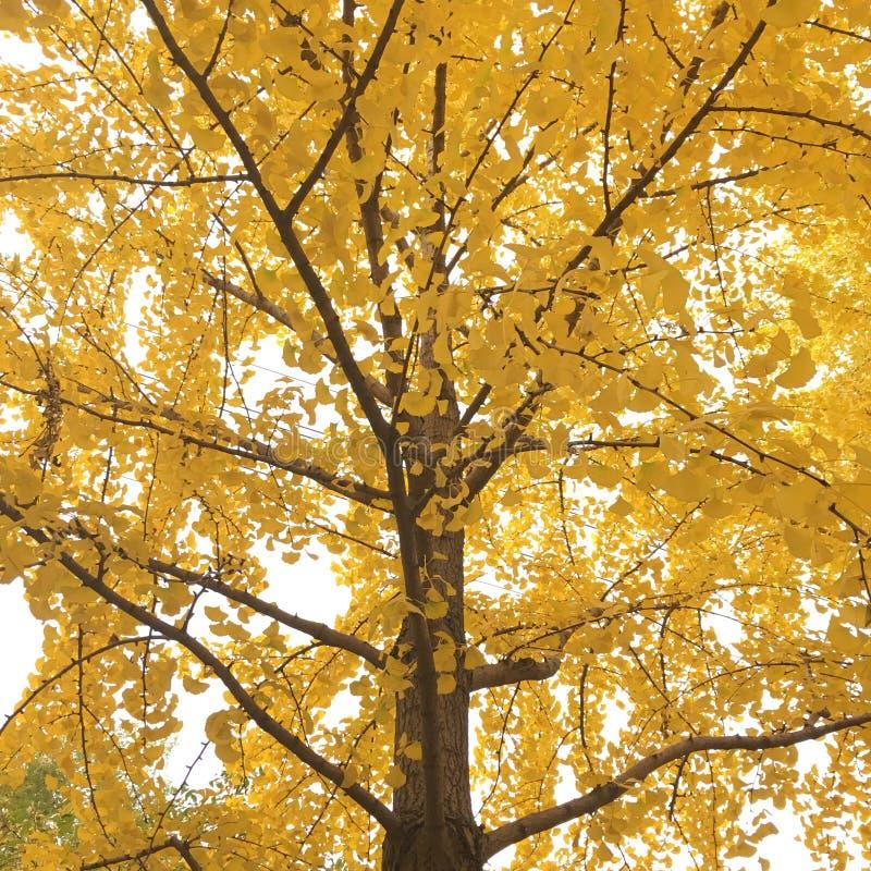 No outono as árvores grossas da nogueira-do-Japão foto de stock