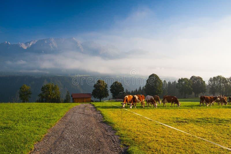 No pasto na névoa da manhã imagens de stock