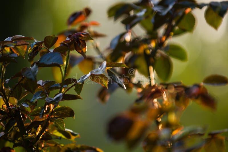 No por do sol o sol em um jardim aumentou arbustos com folhas e espinhos com ramos pequenos sem florescer Plantas da mola nave foto de stock
