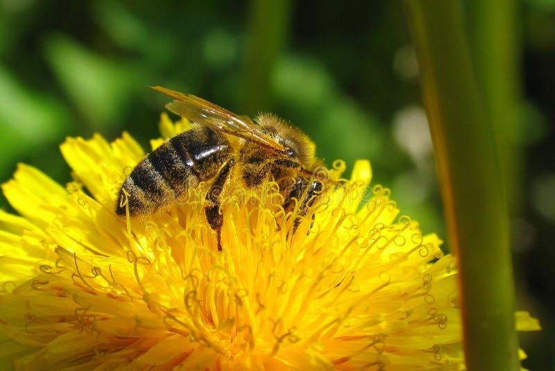 Download No prado imagem de stock. Imagem de prado, flores, abelha - 536051