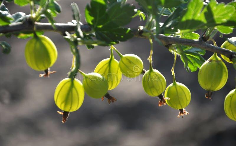 No ramo das groselhas maduras do arbusto fotografia de stock