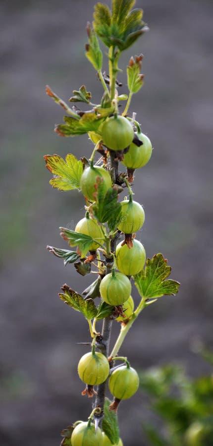 No ramo das groselhas maduras do arbusto foto de stock