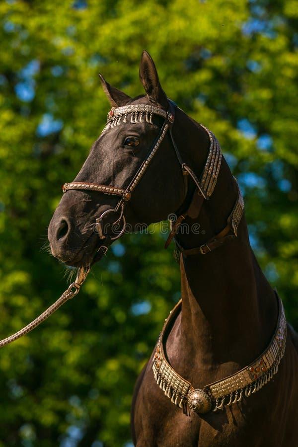 No retrato do perfil do cavalo akhal marrom escuro bonito do teke fotos de stock