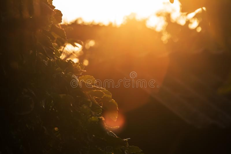 No verão, balfouriana de Polyscias o sol, fazendo o olhar da imagem estranho foto de stock royalty free