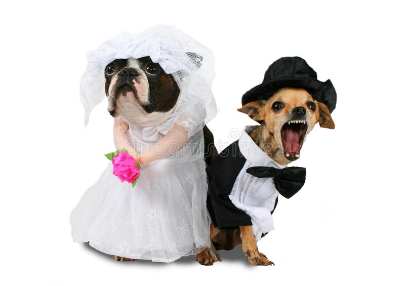 No way. Two dogs in wedding attire looking upset stock photography