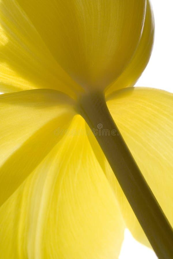 no1 μια τουλίπα κίτρινη στοκ εικόνες