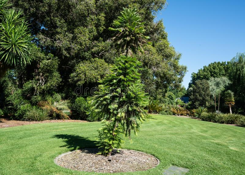 Nobilis πεύκων ή wollemia Wollemi ένα κωνοφόρο δέντρο στους βοτανικούς κήπους SA Αυστραλία της Αδελαΐδα στοκ εικόνες