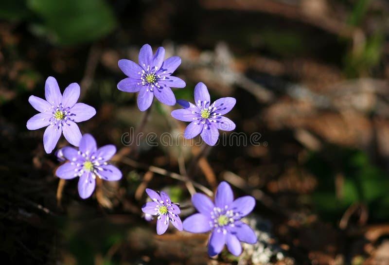 Download Nobilis de Hepatica photo stock. Image du fleurs, ressort - 727892