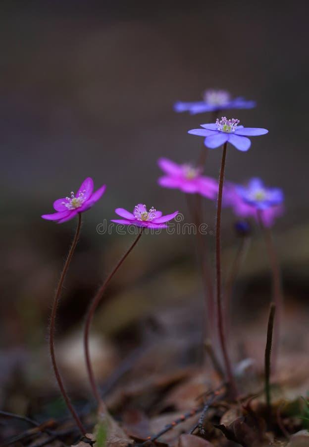 Nobilis de Hepatica - beautés de ressort tôt photo libre de droits