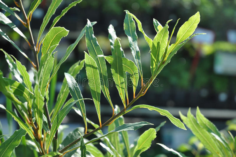 Nobilis de Willow Leaf Bay Laurel Laurus foto de stock