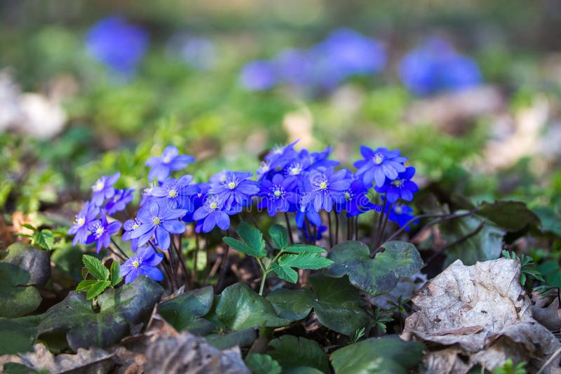 Nobilis di Hepatica, fiori blu del petalo della prima molla fotografia stock libera da diritti