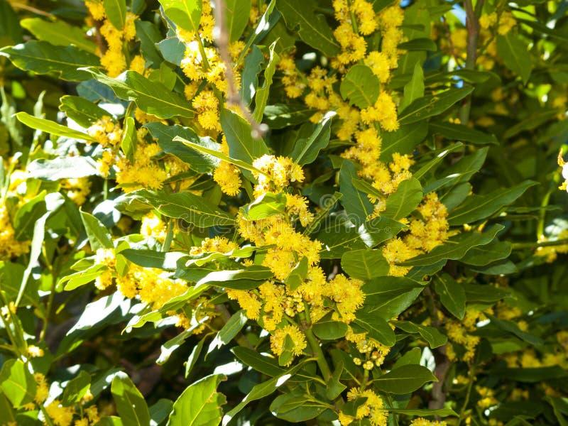 Nobilis do Laurus - louro na flor na primavera imagens de stock royalty free