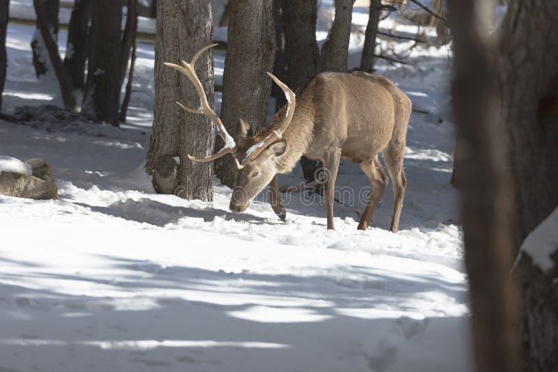 Nobla hjortar i vinterskogen arkivbild