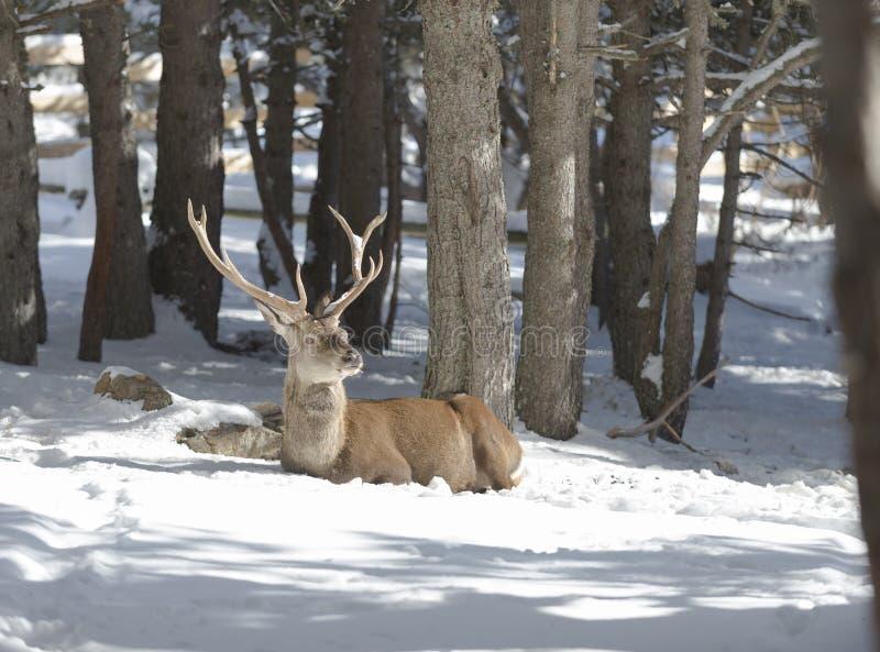 Nobla hjortar i vinterskogen royaltyfri foto