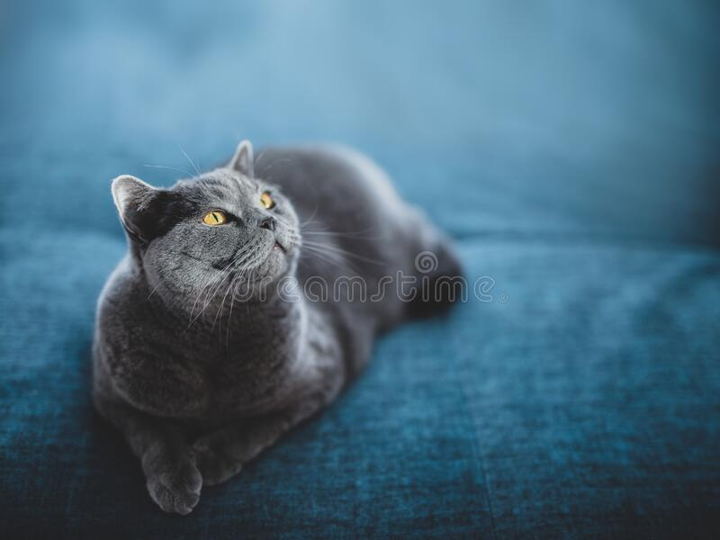 Noble cat lying on the sofa and looking up. British shorthair breed royalty free stock photos