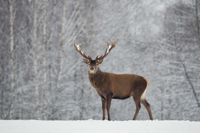 Noble deer with big beautiful horns on snowy field on forest background.Lonely antlered stag. stock photos