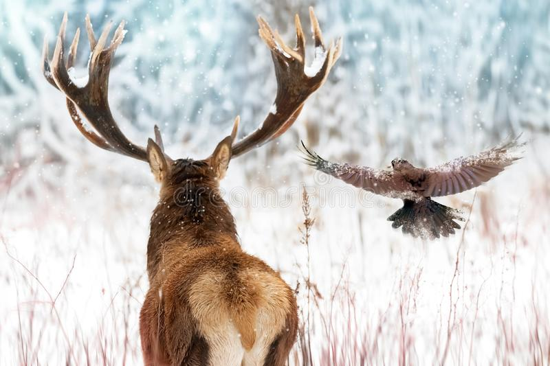 Noble deer with big horns and raven in flight in a winter fairy forest. Christmas winter image royalty free stock photography