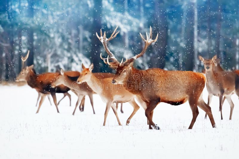 A noble deer with females in the herd against the background of a beautiful winter snow forest. Artistic winter landscape. Christm royalty free stock photos