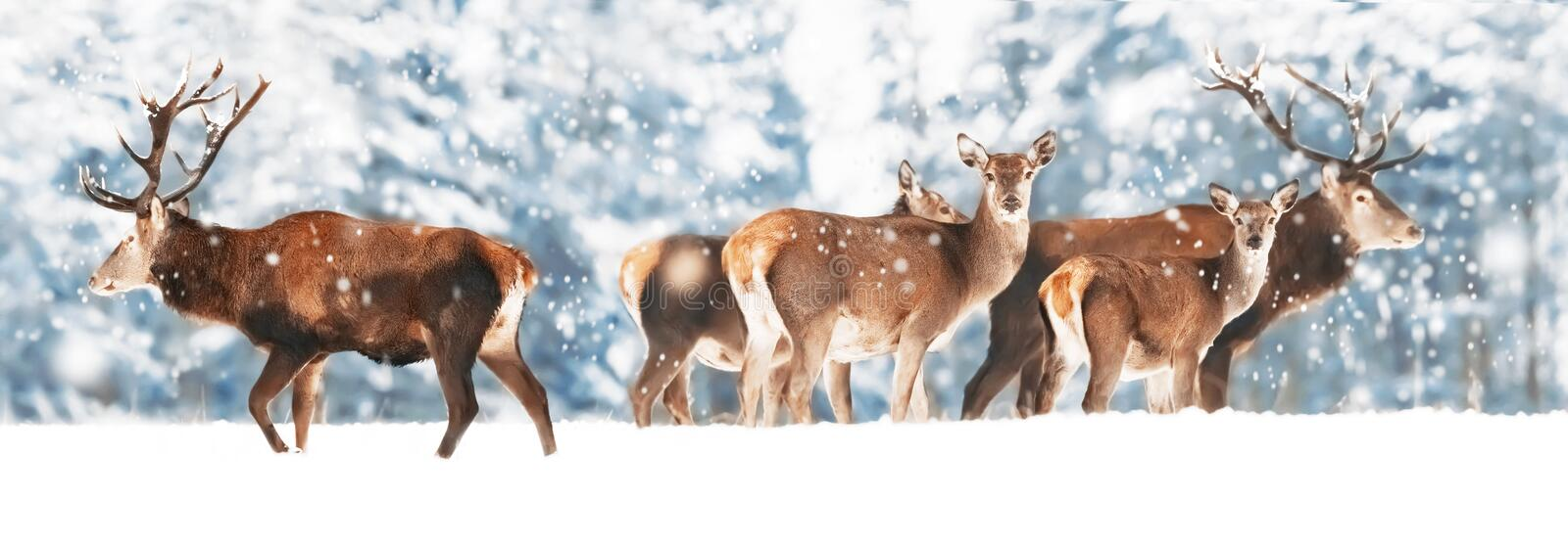 A noble deer with females in the herd against the background of a beautiful winter snow forest. Artistic winter landscape. Christmas photography. Winter stock photo