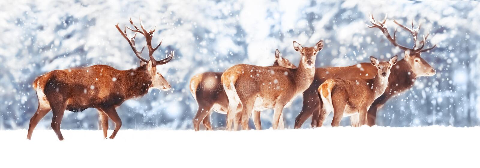 A noble deer with females in the herd against the background of a beautiful winter snow forest. Artistic winter landscape. Christmas photography. Winter stock photography