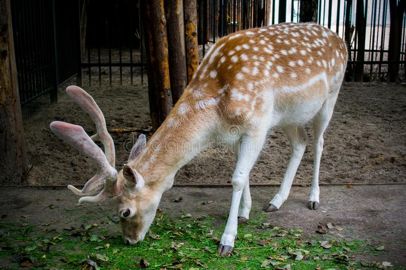 The noble deer in the zoo stock image