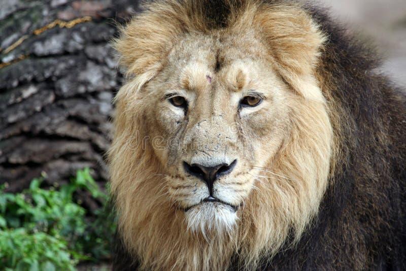 Download Noble Lion Portrait Stock Image - Image: 3441211