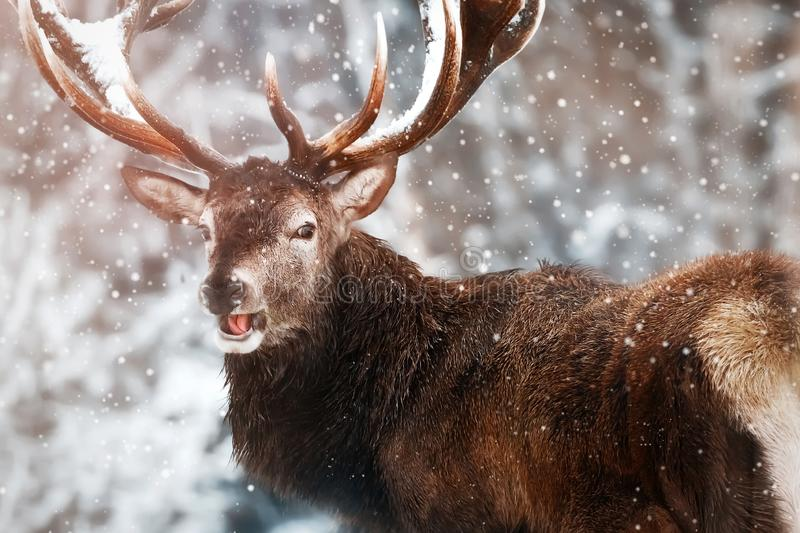 Noble red deer male against the winter snow forest. Winter christmas wonderland. Portrait of wild deer in natural area.  stock image